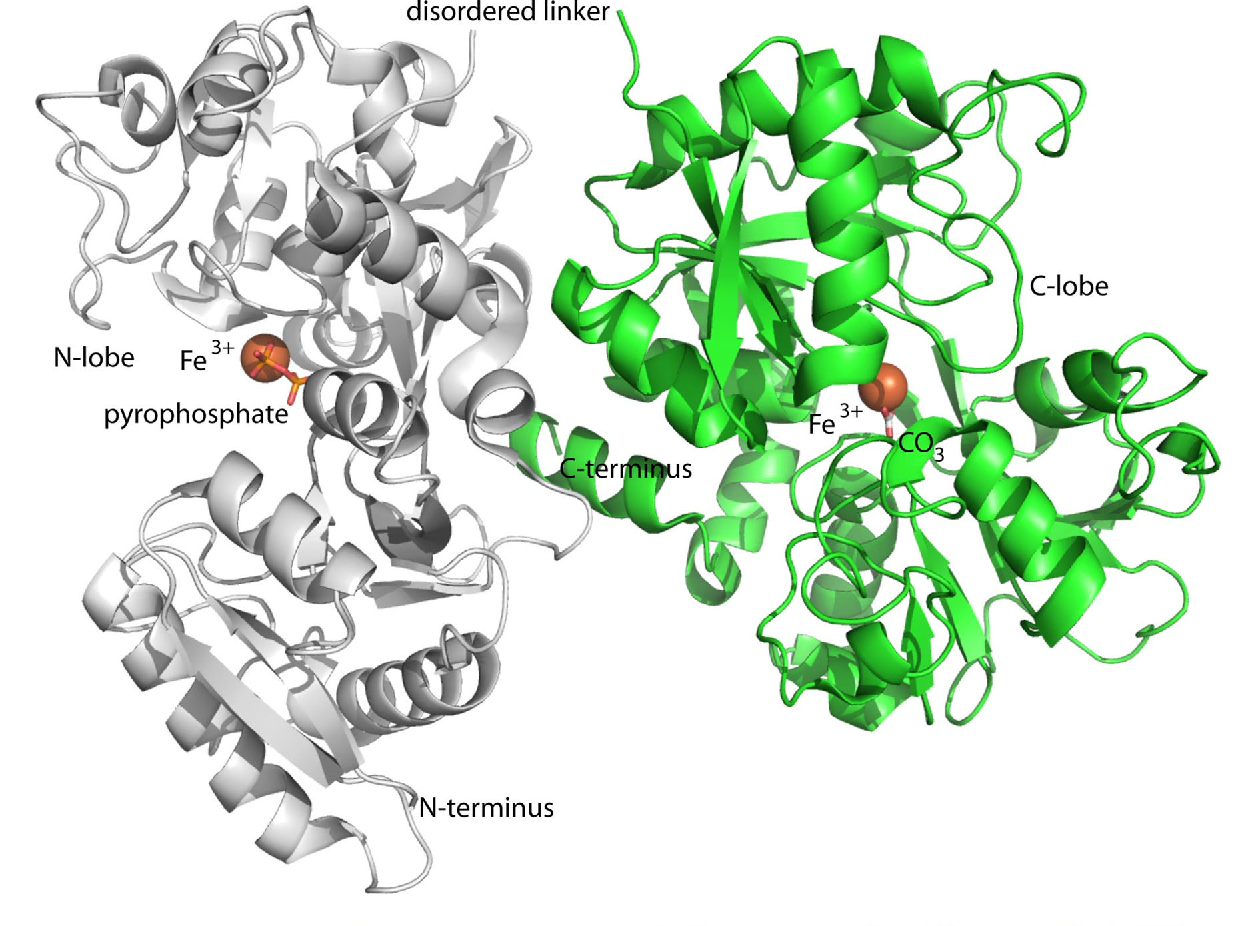 Crystal structure of FPC-bound transferrin